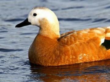 Eşlerine bağlılığıyla bilinen Angut kuşları hakkında bilinmeyenler!