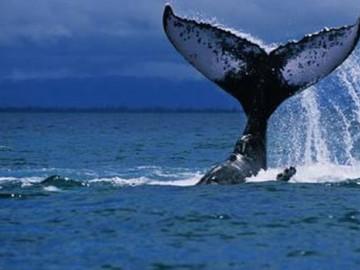 Yalnız balinanın öyküsü